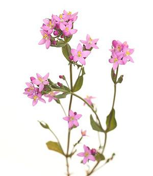 CENTAURY, Tusindgylden, Bachs Blomsterdråber