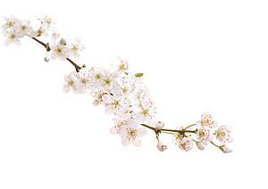 CHERRY-PLUM, Kirsebærblomme, Bachs Blomsterdråber