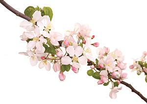 CRAB-APPLE, Sødæble, Bachs Blomsterdråber