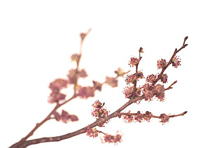 ELM, Bachs Blomsterdråber