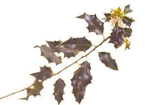 Holly, Kristtorn, Bachs Blomsterdråber