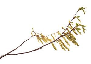 Hornbeam, avnbøg, Bachs Blomsterdråber