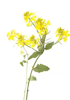 Mustard, Agersennep, Bachs Blomsterdråber