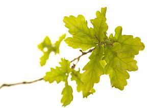 Oak, Eg, Bachs Blomsterdråber