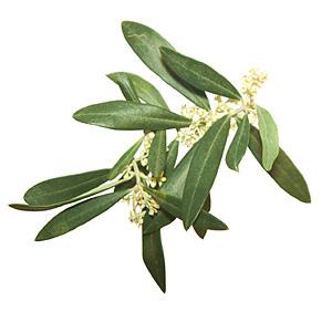 Olive, Oliven, Bachs Blomsterdråber