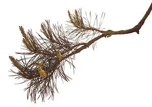 Pine, Skovfyr, Bachs Blomsterdråber