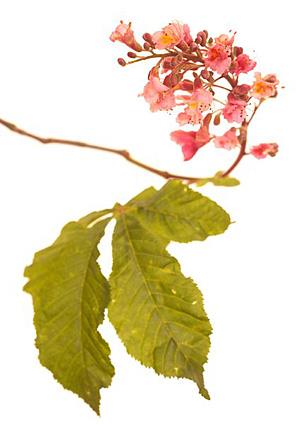 Red Chestnut, Rød hestekastanie, Bachs Blomsterdråber