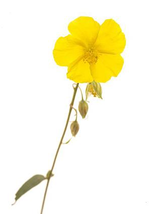 Rock rose, Soløje, Bachs Blomsterdråber