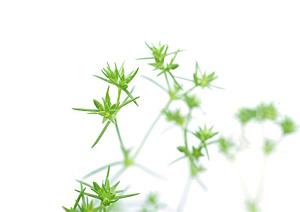 Scleranthus, Knavel, Bachs Blomsterdråber