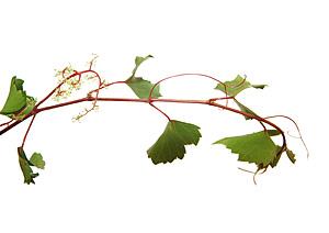 Vine, Vinranke, Bachs Blomsterdråber
