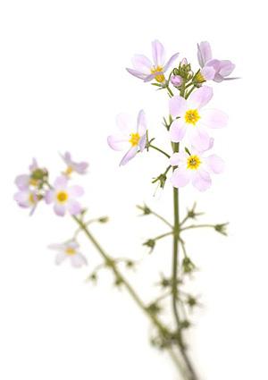 Water Violet, Vandrøllike, Bachs Blomsterdråber