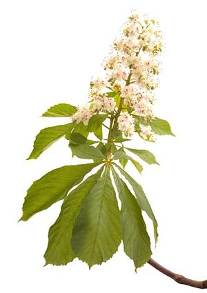 White Chestnut, Hestekastanie, Bachs Blomsterdråber