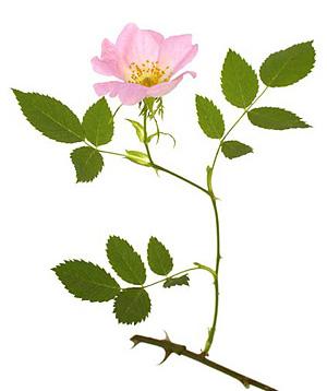 Wild Rose, Hunderose, Bachs Blomsterdråber